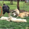 Adam Arkasından Yaklaşan Leoparı Görmedi Hayatını Kaplan Kurtardı