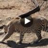 Leoparın Devasa Piton Yılanı İle Ölümüne Mücadelesi