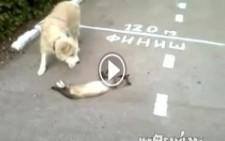 Köpekten Kurtulmak İçin Ölü Taklidi Yapan Kedi :))