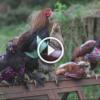 Üşümesinler Diye Tavuklarına Süveter Ören Kadın