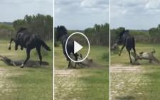 Kızgın At ve Timsahın Korkunç Kavgası